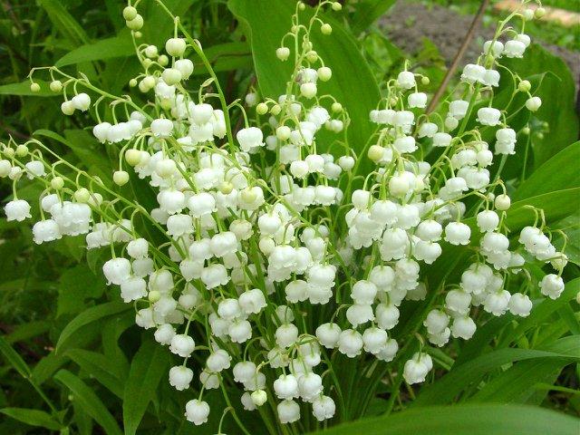 Kết quả hình ảnh cho hoa linh lan đẹp