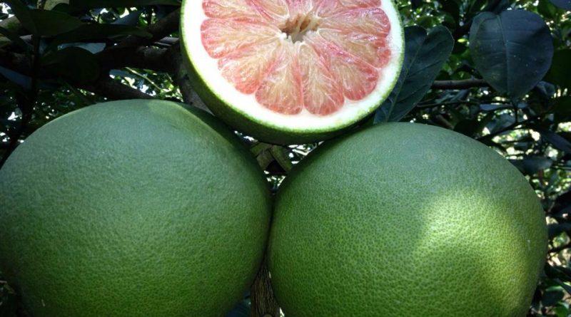 Cách trồng và chăm sóc cây bưởi da xanh